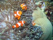 Anemone and clownfishes. Raja Ampat. Papua,  Indonesia.