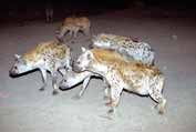 Hyenas during feeding at Harar. Ethiopia.