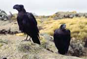 Ravens in Simien mountains. North,  Ethiopia.