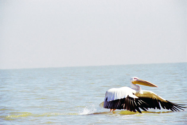 Pelican at Tana lake. North,  Ethiopia.