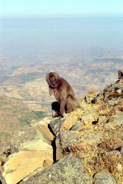 Gelada baboon. Simien mountains. North,  Ethiopia.