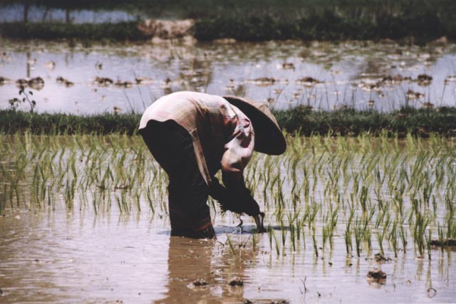 Working in rice field. Laos.