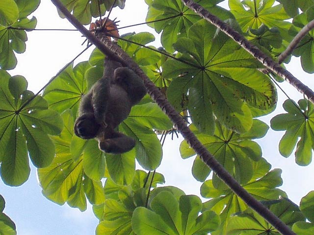 Sloth. National park Manuel Antonio. Costa Rica.