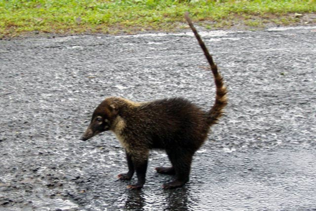 White Nosed Coatil. Costa Rica.