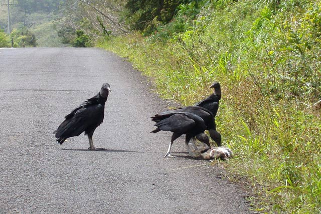 Vultures eating carcase. Costa Rica.