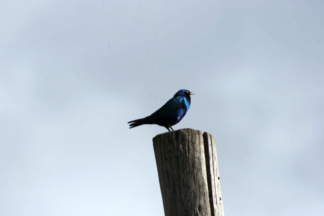 Blue Starling. South,  Ethiopia.