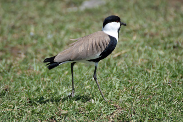 Spur-winged Lapwing (Vanellus spinosus), Ziway lake. South,  Ethiopia.