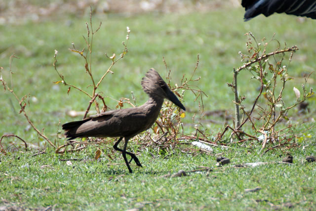 Hamerkop (Scopus umbretta), Ziway lake. South,  Ethiopia.