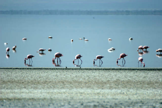 Greater Flamingos (Phoenicopterus ruber), Abiata lake. South,  Ethiopia.