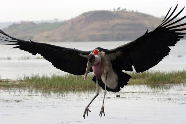 Marabou stork (Leptoptilos crumeniferus), Awasa lake. South,  Ethiopia.