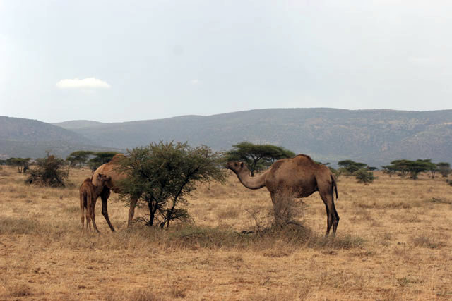 Camels on the way to Jinka. South,  Ethiopia.
