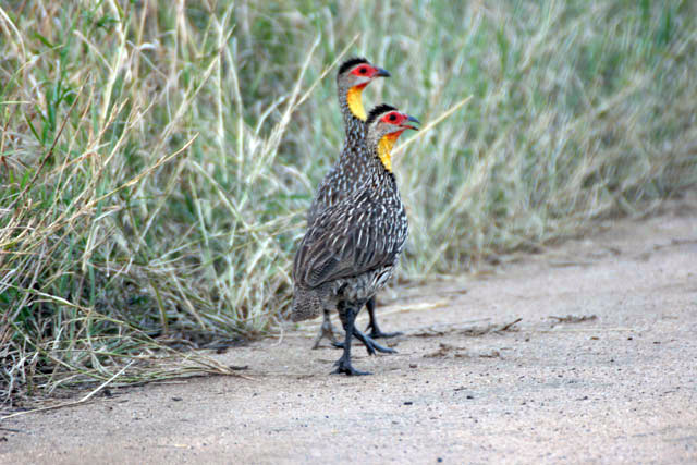 Yellow-necked Spurfowl (Francolinus leucoscepus). South,  Ethiopia.
