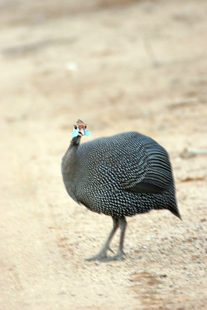 Helmeted Guineafowl (Numida meleagris). South,  Ethiopia.