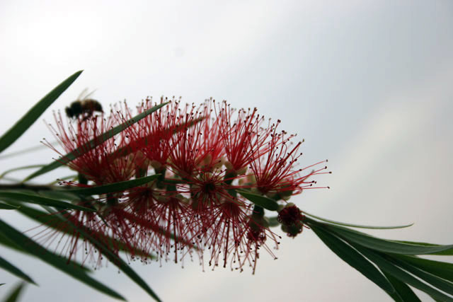 Bottlebrush flower, around Turmi. South,  Ethiopia.