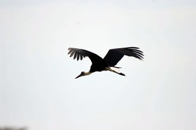 Woolly-necked Stork (Ciconia episcopus), Murlle. South,  Ethiopia.