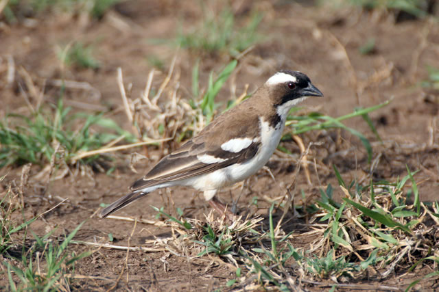 White-browed Sparrow-Weaver (Plocepasser mahali). South,  Ethiopia.