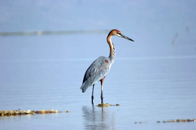 Goliath Heron (Ardea goliath), Arba Minch. South,  Ethiopia.