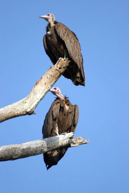 Hooded Vultures (Necrosyrtes monachus), Arba Minch area. South,  Ethiopia.