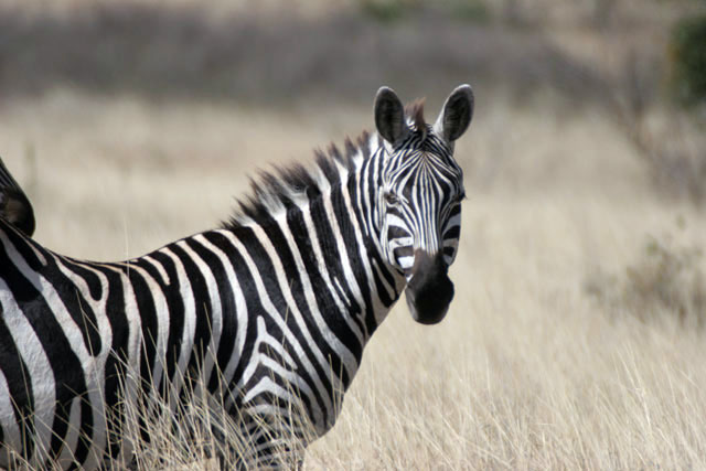 Zebra, Nechisar National Park. South,  Ethiopia.