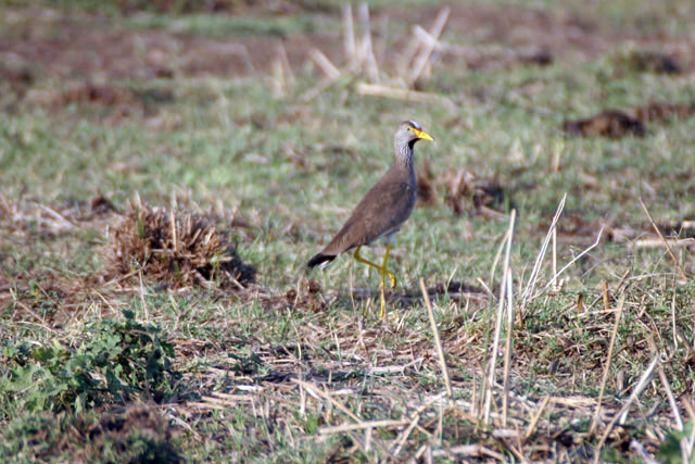 Wattled Lapwing (Vanellus senegallus), Arba Minch area. South,  Ethiopia.
