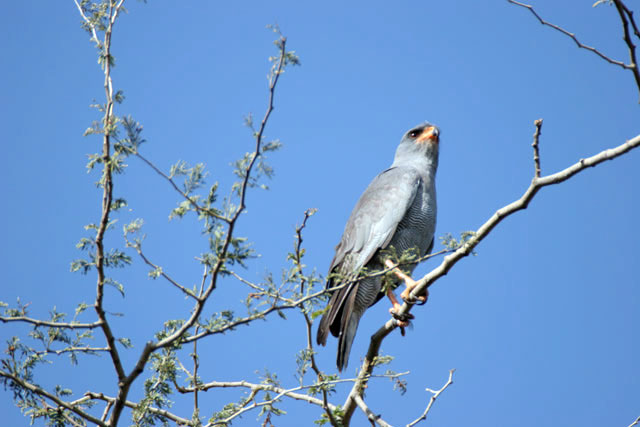 Pale Chanting Goshawk (Melierax poliopterus), Arba Minch area. South,  Ethiopia.