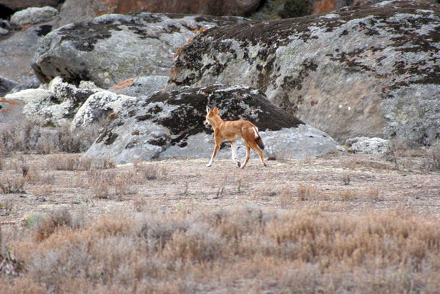 Ethiopian wolf. Bale Mountain National Park. South,  Ethiopia.