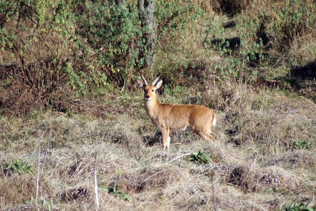 Bohor reedbuck. Bale Mountain National Park. South,  Ethiopia.