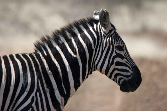 Zebra, Nechisar NP. South,  Ethiopia.