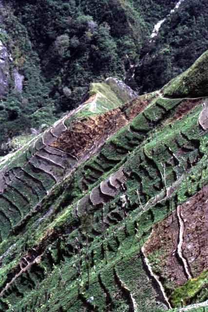 Sweet potato fields are also found in steep hills. South part of Baliem Valley. Papua,  Indonesia.