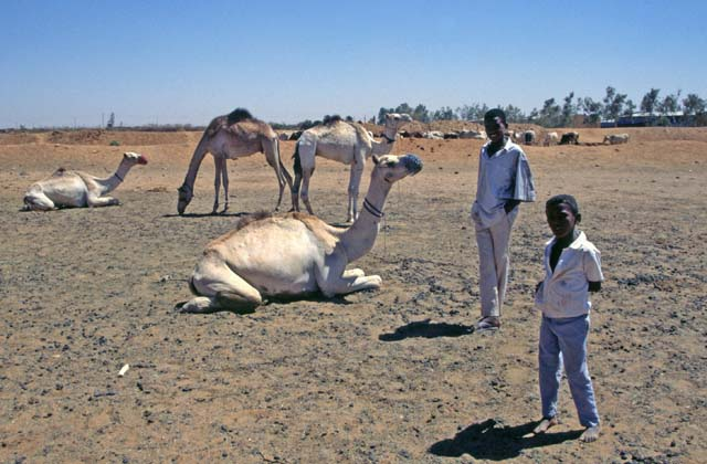 Camel market at the outskirts of Lybia market. Khartoum (Omdurman). Sudan.