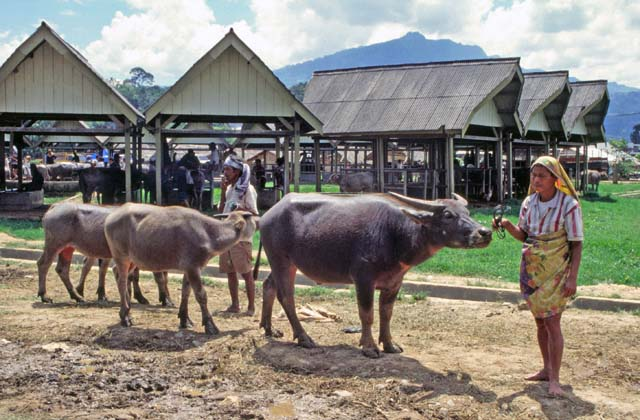 Main weekly market at Rantepao, Tana Toraja area. Sulawesi,  Indonesia.