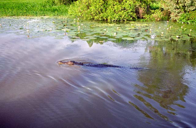 Crocodile at Yellow Water river. Kakadu national park. Australia.