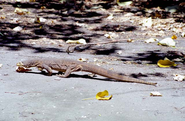 Lizard one meter long at Fitzoy island. Australia.