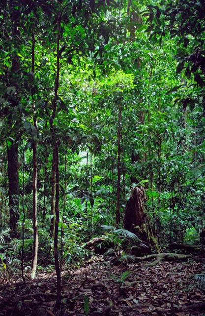 Jungle in Cape Tribulation area. Australia.
