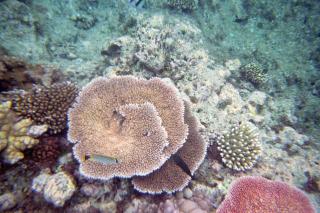 Corals at Great Barrier Reef. Australia.