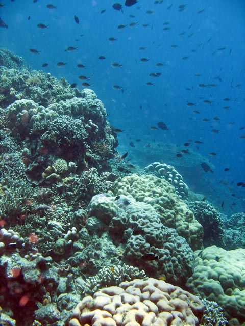 Diving around Bunaken island, Fukui dive site. Sulawesi,  Indonesia.