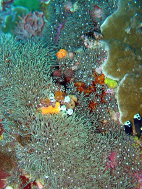 Diving around Bunaken island, Lekuan III dive site. Sulawesi,  Indonesia.