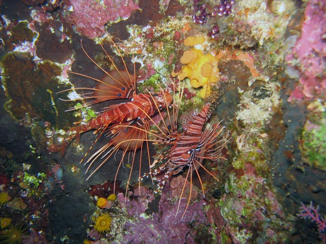 Lionfish. Diving around Bunaken island, Chelo Chelo dive site. Sulawesi,  Indonesia.