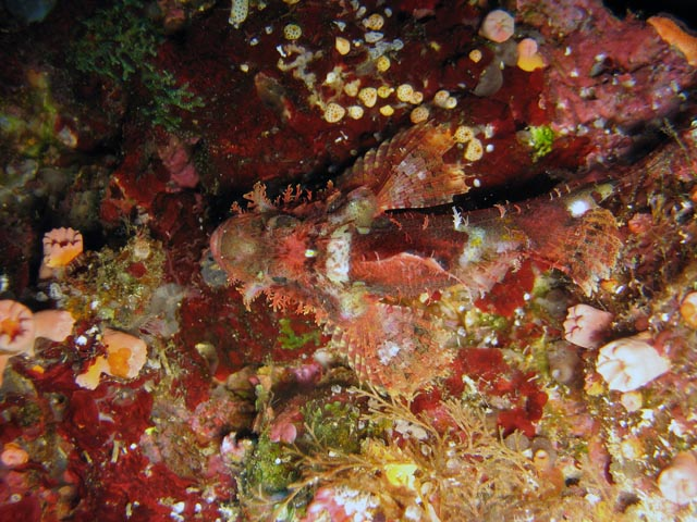 Scorpionfish. Diving around Bunaken island, Alban dive site. Sulawesi,  Indonesia.