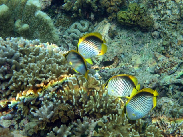 Spotfin Butterflyfish. Diving around Bunaken island, Alban dive site. Sulawesi,  Indonesia.
