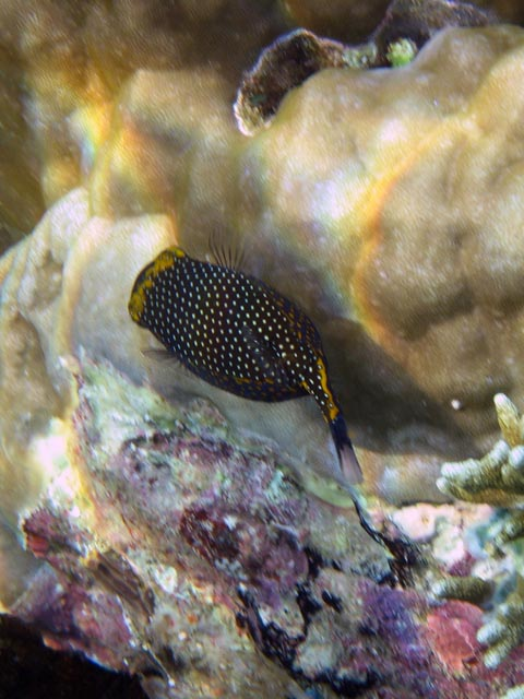 Spotted Boxfish (Ostracion meleagris). Diving around Bunaken island, Alban dive site. Sulawesi,  Indonesia.