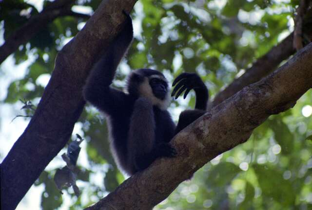 Gibbon monkey in Tanjung Puting national park. Kalimantan,  Indonesia.