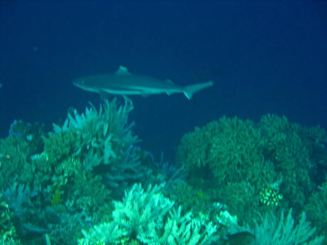Whitetip Reef Shark. Diving around Bunaken island, Alban dive site. Sulawesi,  Indonesia.