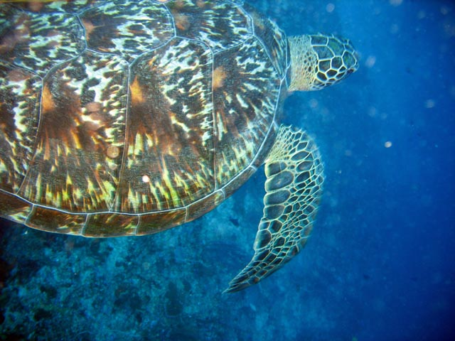 Turtle. Diving around Bunaken island, Lekuan I dive site. Sulawesi,  Indonesia.