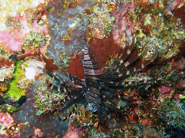 Lionfish. Diving around Togian islands, Kadidiri, Taipee Wall dive site. Sulawesi,  Indonesia.