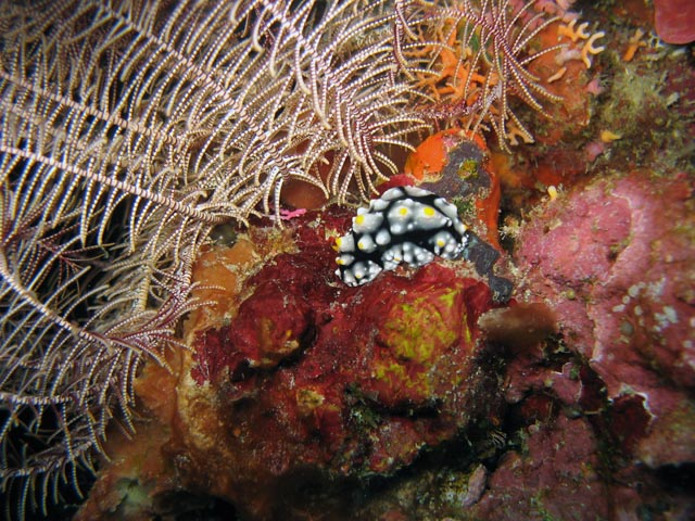 Nudibranch. Diving around Togian islands, Kadidiri, Labyrinth dive site. Sulawesi,  Indonesia.