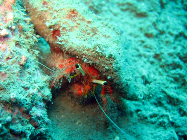 Crab. Diving around Togian islands, Kadidiri, plane wreck B24 from the 2nd World War. Sulawesi,  Indonesia.