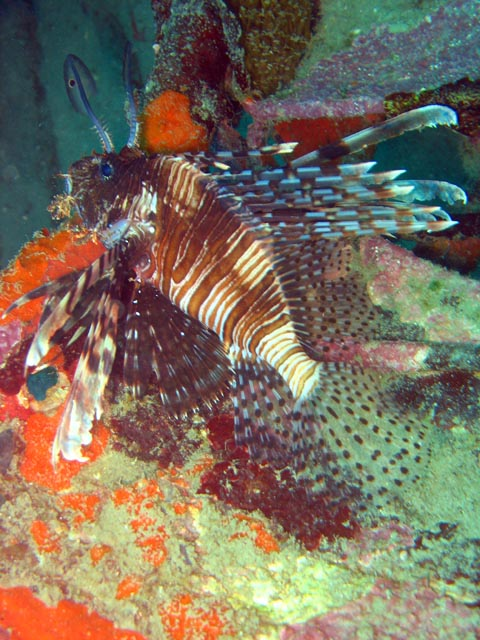 Lionfish. Diving around Togian islands, Kadidiri, plane wreck B24 from the 2nd World War sunken on Mai 3rd, 1945. Sulawesi,  Indonesia.