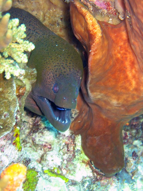 Giant moray eel (Gymnothorax javanicus). Diving around Togian islands, Kadidiri, Two Canyons dive site. Sulawesi,  Indonesia.