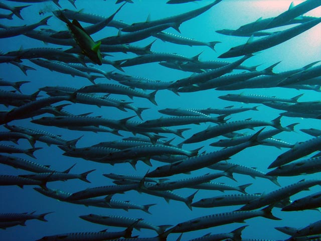 Barracudas. Diving around Togian islands, Una Una, Apollo dive site. Sulawesi,  Indonesia.